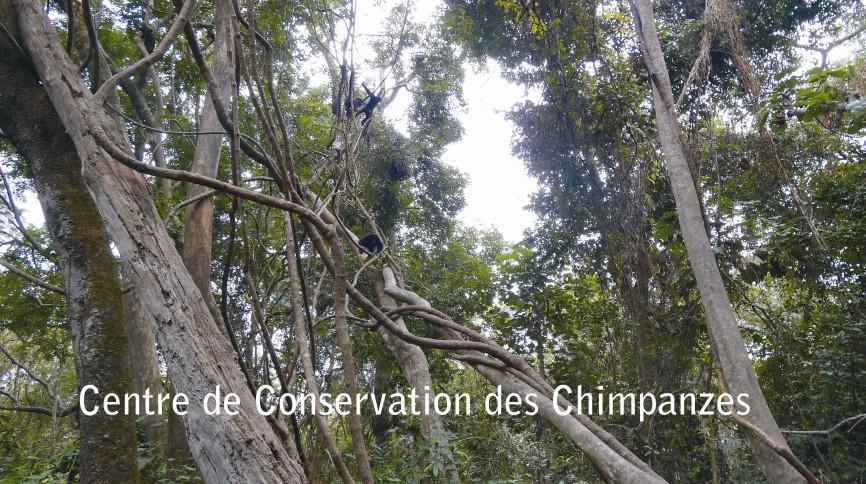 Chimpancés del grupo de bebés bajando de los árboles