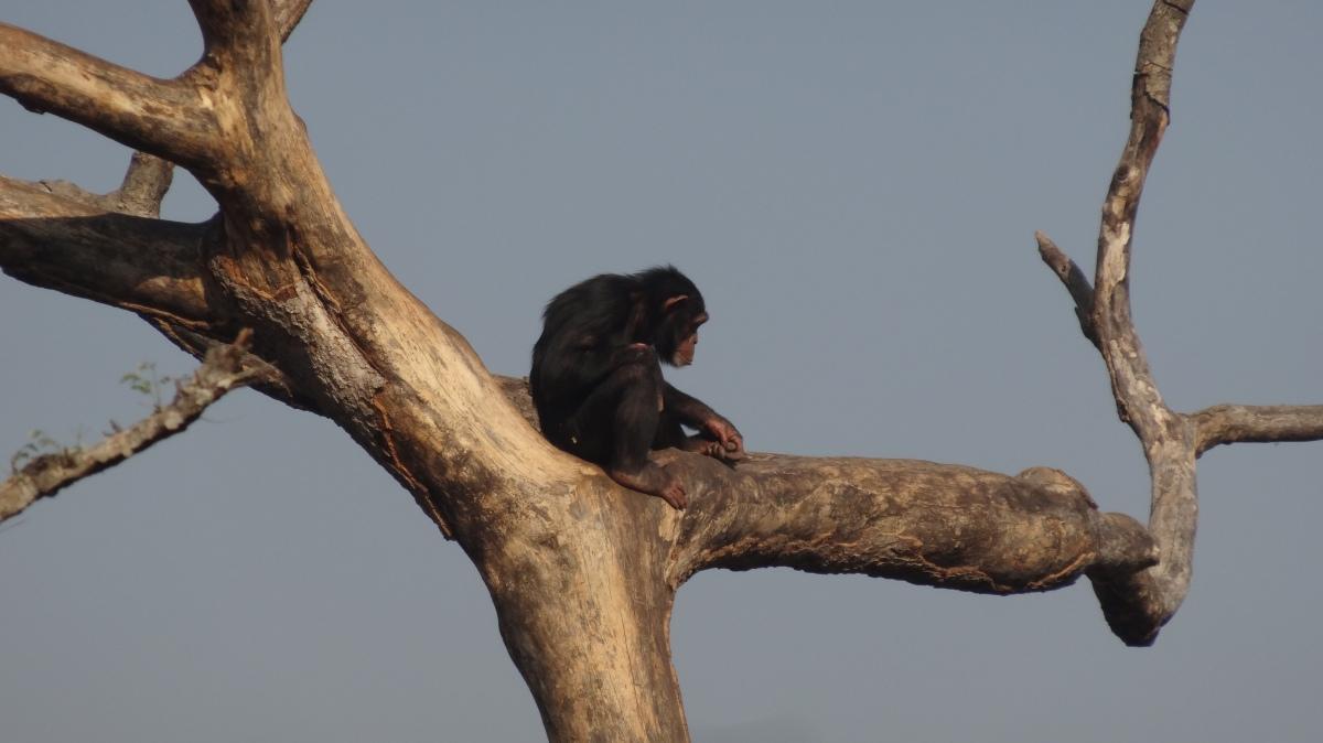 Historias de chimpancés I