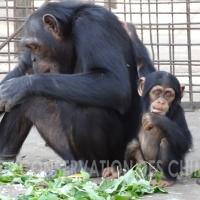 Historias de chimpancés II